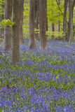 Wiltshire bluebells Stock Photo
