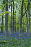 Wiltshire bluebells Royalty Free Stock Photos