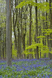 Wiltshire bluebells Royalty Free Stock Photo