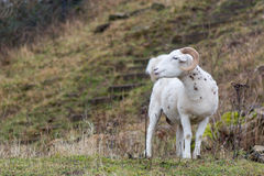 Wiltshire horn ram Royalty Free Stock Image