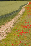 Wiltshire poppies Royalty Free Stock Image