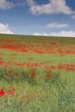 Wiltshire poppies Stock Photos