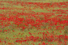 Wiltshire poppies Royalty Free Stock Photo