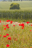 Wiltshire poppies Royalty Free Stock Images