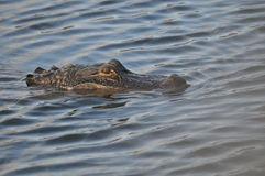 Wily Alligator. Just the alligators head appears above the rippling water. His eye is clearly visible as he scans water Stock Photo