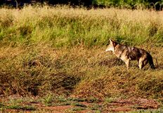 Wily coyote. Young coyote hunting at dawn in the  water reserve,Gilbert,Arizona,USA Royalty Free Stock Images