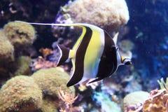 Wimpel coralfish royalty-vrije stock afbeeldingen