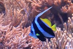 Wimpel coralfish stock afbeelding