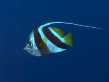 Wimpel coralfish stock foto's