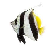 Wimpel Coralfish, Heniochus-acuminatus, Stock Afbeeldingen