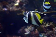 Wimpel Coralfish oder Longfin Bannerfish Heniochus acuminatus Lizenzfreie Stockfotos