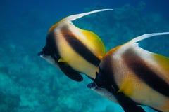 Wimpelfische in Ägypten Lizenzfreies Stockfoto