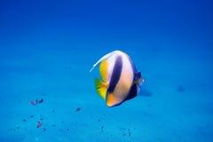 Wimpelfische in Ägypten Lizenzfreie Stockbilder