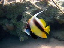 Wimpelfische Stockbild