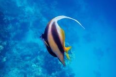 Wimpelfische des Roten Meers im Meer Lizenzfreie Stockbilder