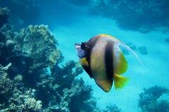 Wimpelfische des Roten Meers im Roten Meer Lizenzfreie Stockfotografie