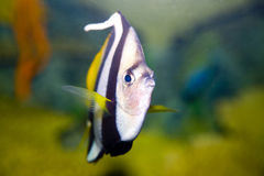 Wimple-fish Royalty Free Stock Photos