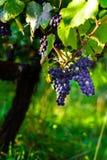 Win winogron winnica przy zmierzchem, jesień w Francja Obraz Royalty Free