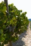 Win winogrona na krzaku Zdjęcie Royalty Free