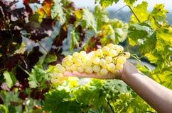 Win winogrona w ręce Fotografia Royalty Free