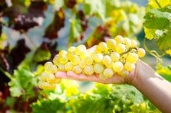 Win winogrona w ręce Obrazy Stock