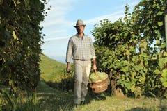 Wina żniwa pracownik z łozinowym koszem pełno wiązki winogrona obrazy royalty free