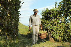 Wina żniwa pracownik z koszykowy pełnym wiązki winogrona obraz royalty free