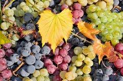 Wina biel czerwonego i czarny winogrono, Obrazy Stock