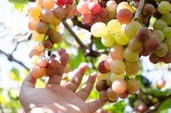 wina czerwonego winogrona żniwo w ranku fotografia stock