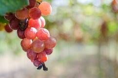 wina czerwonego winogrona żniwo w ranku obraz royalty free