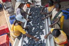Wina robić proces z czerwonymi winogronami Obraz Royalty Free