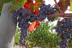 wina winogrona obrazy stock