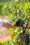Wina winogrono w ręka rolniku, produkt dla robi czerwonych win winogron żniwu obrazy stock