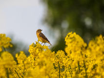 Winchat in the rape field Royalty Free Stock Photo