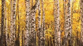 Wind in the autumn birch forest, falling yellow leaves. 1 stock video footage