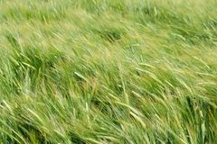 Wind in barley field Royalty Free Stock Photography