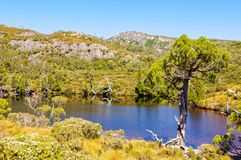 Wind battered tree - Cradle Mountain. A wind battered tree on the shore of Wombat Pool in the Cradle Mountain-Lake St Clair National Park - Tasmania, Australia stock photo