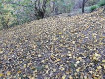 Autumn came and the yellow leaves of the mulberry tree fell down. The wind began and the yellow leaves of the mulberry tree fell down stock photography