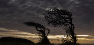 Wind Bent Hawthorn Tree at Dawn. Hawthorn tree is silhouette on Culver Down, Sandown, Isle of Wight Stock Photography