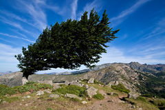 Wind-bent tree Stock Photo