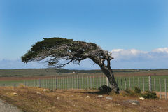 Wind bent tree Stock Image
