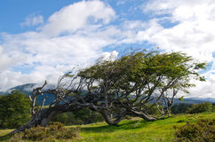 Wind-bent tree in Fireland (Tierra Del Fuego), Patagonia, Argent Stock Image