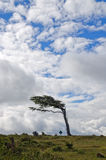 Wind-bent trees in Tierra Del Fuego Royalty Free Stock Photo