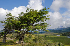 Wind-bent trees in Fireland (Tierra Del Fuego), Patagonia, Argen Royalty Free Stock Images