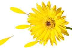 Wind. Big yellow flower stands in the wind, and loses its petals Royalty Free Stock Images