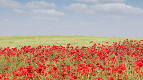 Wind blowing across poppy flowers stock footage