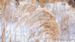 Wind Blowing Against Dried Reeds on a Winter Cold Day Weighing The Reeds Down. Wind blowing against reeds on a winter cold day weighing the reeds down stock video