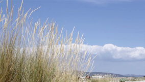 Wind blowing Ammophila arenaria, a species of grass stock footage