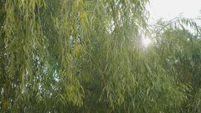 Wind blowing on an autumn willow tree and sun shining over it on a beautiful warm day -. Wind blowing on an autumn willow tree and sun shining over it on a stock footage