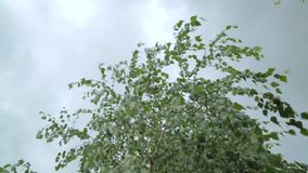 Wind blowing birch leaves in cloudy weather. Close up stock video footage